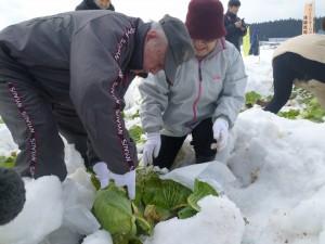 雪中キャベツの収穫を体験する消費者