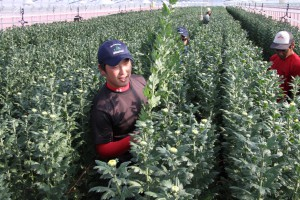 園芸メガ団地、県内で初収穫