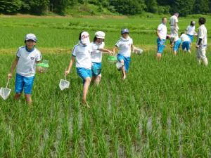 小学生が水田に生息する生き物を調査