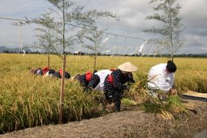 「新嘗祭献穀田」で伊勢神宮などに献納する稲を収穫