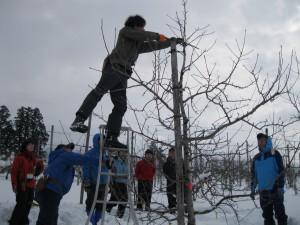 雪害対策のため、雪に強い樹形を検討
