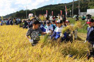 協力して稲を刈り取る児童ら